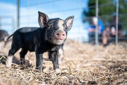 Schweinchen_im_Heu_small